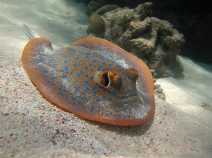 Blue spotted Fantail Stingray