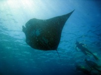 Manta Ray with snorkellers